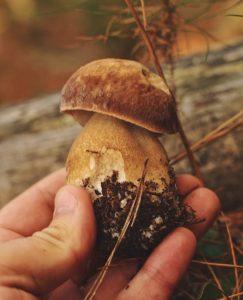 porcini boletus edulis cep mushroom